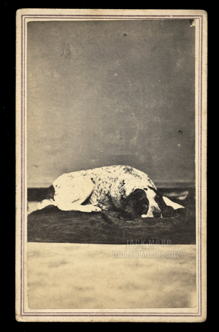 Great Antique 1860s CDV Photo of a Lounging Dog - Hunting Spaniel / New York
