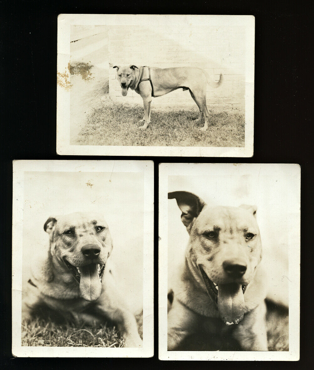 THREE Great Vintage Snapshot Photos of Dog - 1920s 1930s