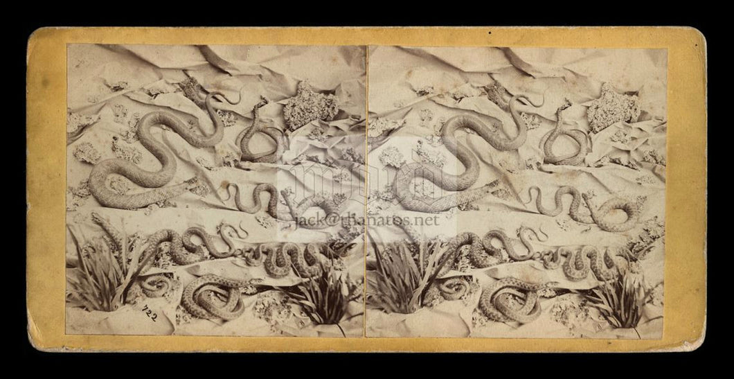 Rare & Unusual Antique 1870s Stereoview Photo - SNAKES in 3D!