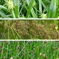 Sedges & Rushes