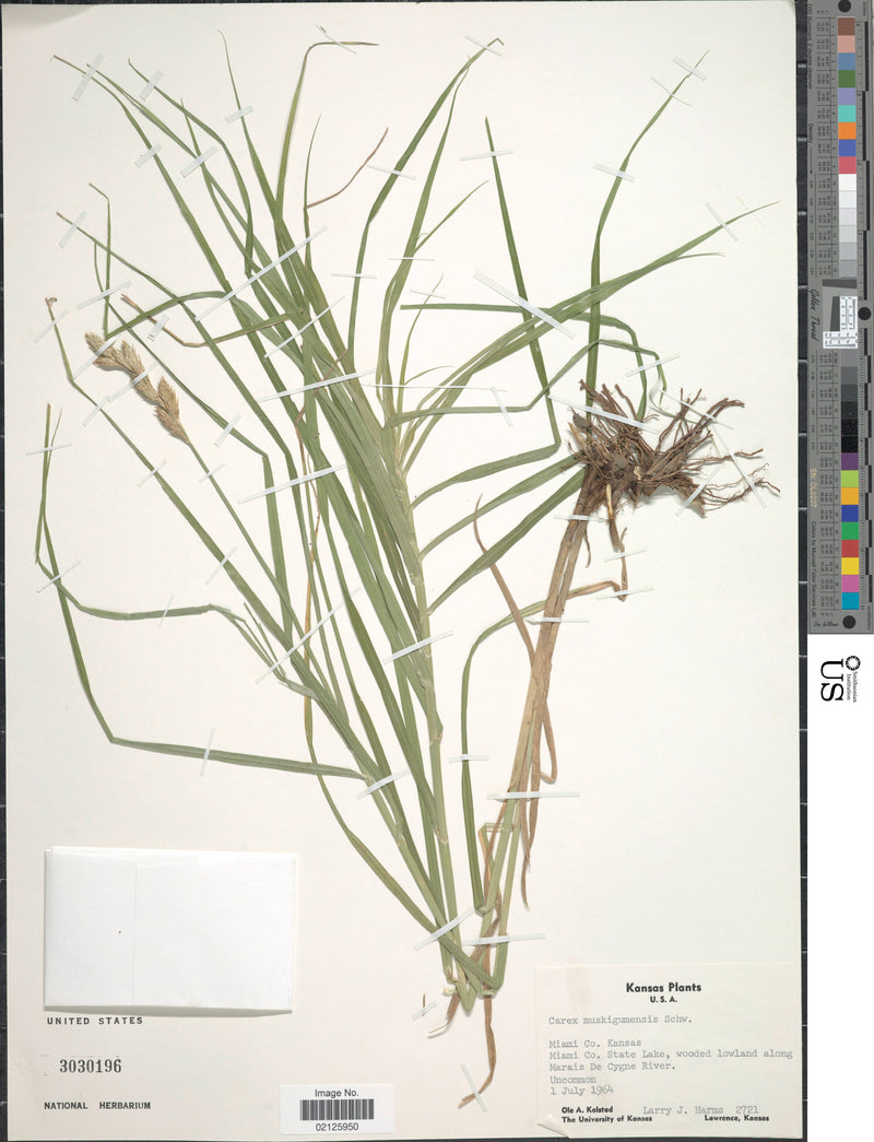 Palm Sedge (Carex muskingumensis)