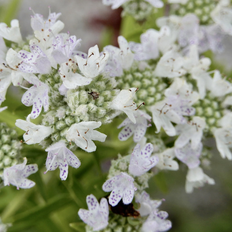 Common Mountain Mint (Pycnanthemum virginianum)