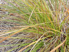 Fox Sedge (Carex vulpinoidea)