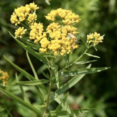 Grass-Leaved Goldenrod (Euthamia graminifolia)