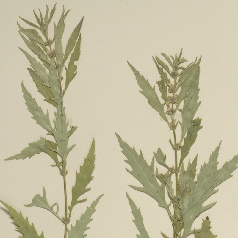 Common Water Horehound (Lycopus americanus)
