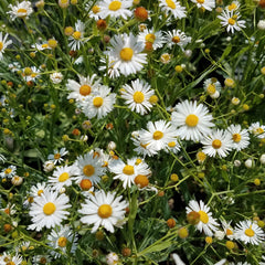 False Aster (Boltonia latisquama)