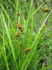 Crested Sedge (Carex cristatella)
