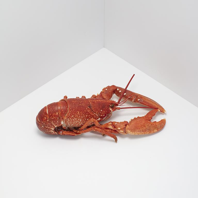 Native Blue Lobster