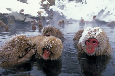 Japanese snow monkeys in onsen