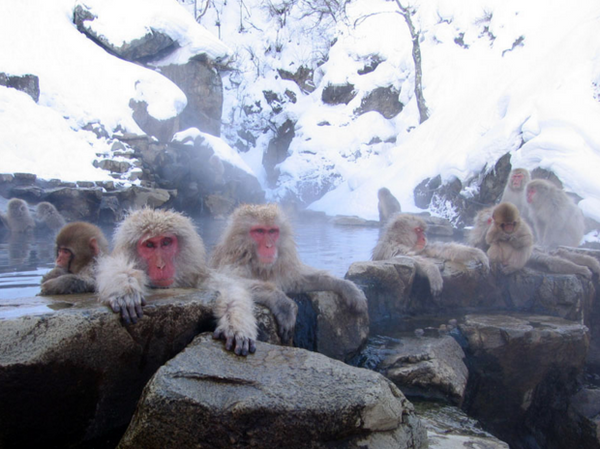 onsen monkeys in Japan