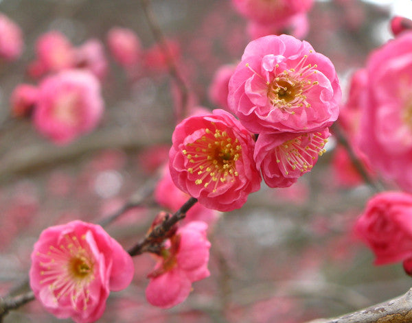 ume blossoms Japan