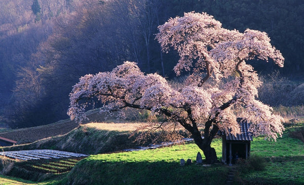 most beautiful sakura cherry blossom