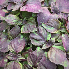 Shiso purple microgreens