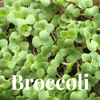 Microgreens Large Tray - Broccoli - Custom Grown For You!