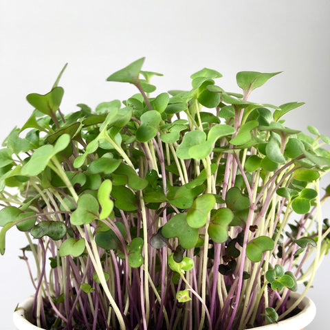Microgreens Large Tray - Healthy Mix - Custom Grown For You!
