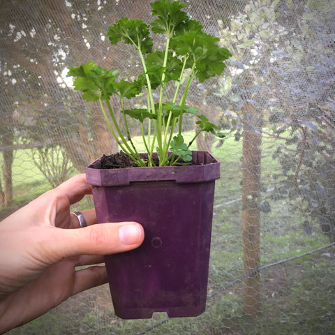Parsley (Curly) - Small Pot