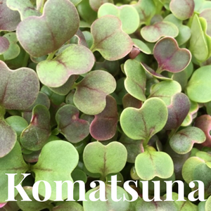 Microgreens Large Tray - Komatsuna - Custom Grown For You!