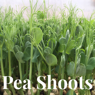 Microgreens Large Tray - Pea Shoots - Custom Grown For You!
