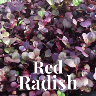 Microgreens Large Tray - Red Radish - Custom Grown For You!
