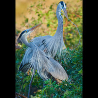 Two Great Blue Herons squabbling over where to place a branch in their nest.