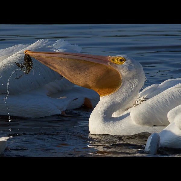 A white pelican feeding with vegetation hanging from the tip of his beak and on his back.