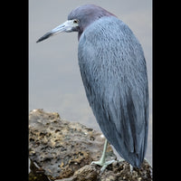 A Little Blue Heron at the shore.