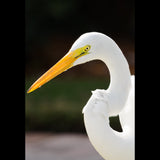 A Great Egret just before breeding plumage.