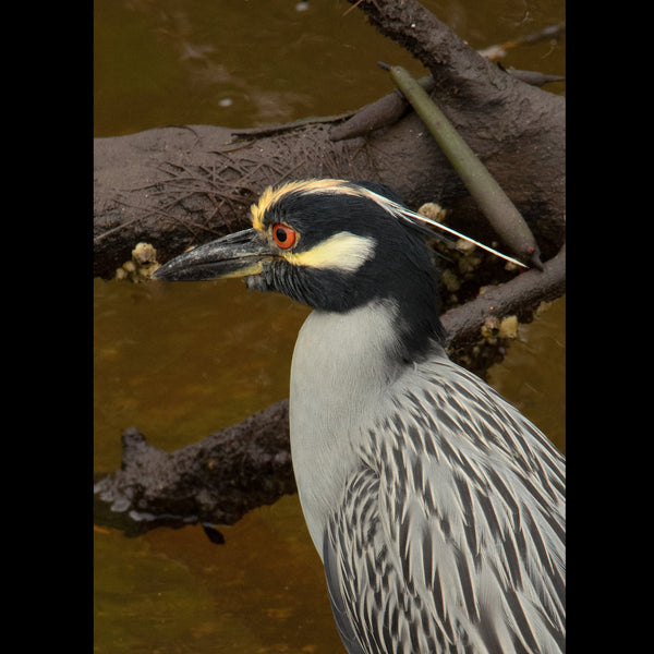 A Yellow-crowned Night-Heron foraging in mangroves.