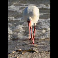 An Ibis at the shore