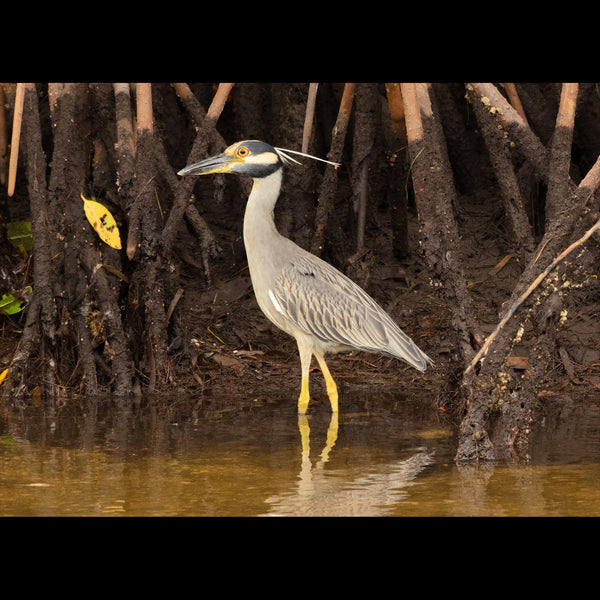 A Yellow-crowned Night Heron hunting in mangroves.