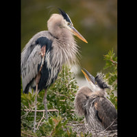 A juvenile Great Blue Heron looking up to an adult in a nest.