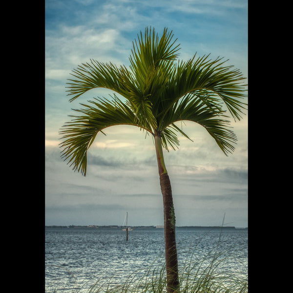 A palm tree swaying in the breeze on Yacht Club Beach. Cape Coral, FL.