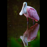 "A Roseate Spoonbill feeding in J.N. ""Ding"" Darling National Wildlife Refuge. Sanibel, Florida."