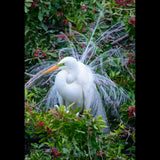 A Great Egret in full breeding plumage