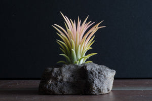 How to take care of Air Plants so they Stay Healthy and Grow Quickly