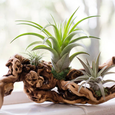 Air Plant Grapevine Wood Arrangement - Medium | Tillandsia, Easy Care Plant, Indoor House Plant, Centerpiece, Air Purifying, Bromeliad