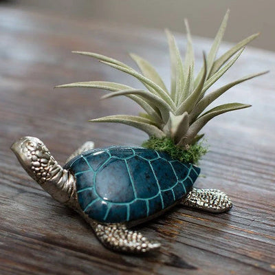 Sea Turtle Air plant - Tillandsia Arrangement | Low Maintenance, Indoor House Plant, Gift Box Option, Beach Decor, Air Purifying, Air Plants
