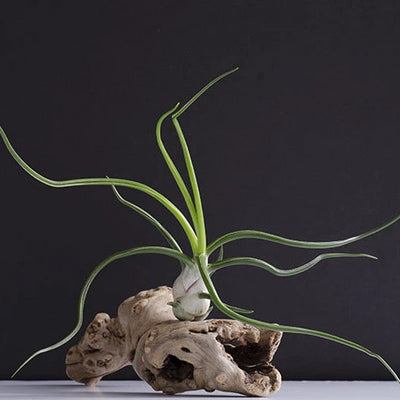 Belize Bulbosa - Rare Air Plant - Giant | Tillandsia, Indoor House Plant, Octopus Air Plant, Wild Air Plants, Air Purifying, Succulent