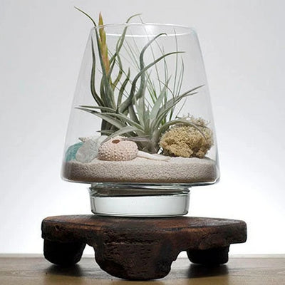 Seaside Air Plant Terrarium Kit | Tillandsia, Low Maintenance Plant, Indoor House Plants, DIY Air Plant Display Kit, Air Plants, Plant Gift