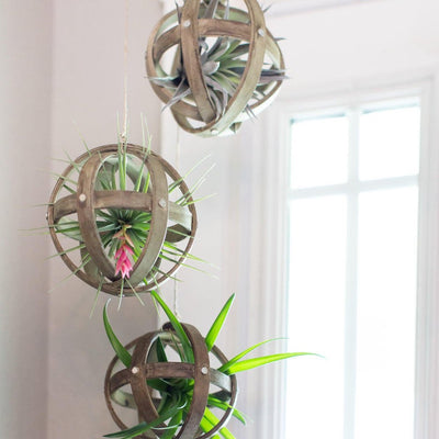 Hanging Wood Sphere Air Plant Display | Tillandsia, Hanging Plants, Low Maintenance, Indoor House Plant, Air Purifying, Air Plants, Holder