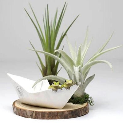Folded Paper Boat Air Plant Arrangement - Resin