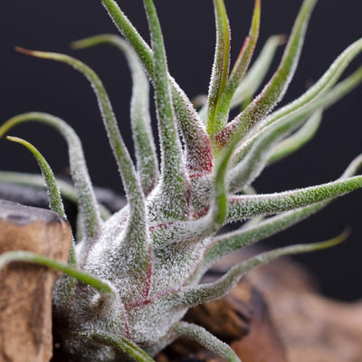 Pruinosa Guatemala Air plant | Tillandsia, Indoor House Plant, Low Maintenance Plant, Air Purifying, Medusa Air Plants, Terrarium Plants