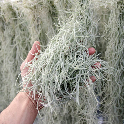 Spanish Moss - EXTRA LONG - Usneoides No. 3 - Air Plant  | Tillandsia, Low Maintenance, Indoor House Plant, Air Purifying