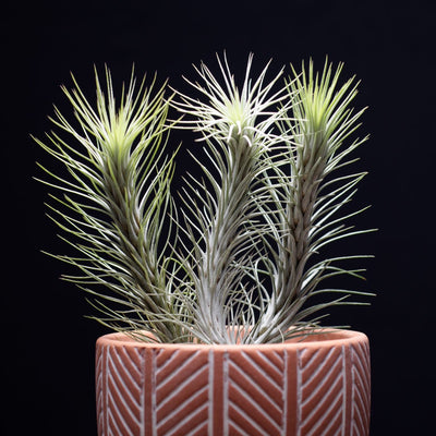 Tillandsia Funkiana No. 3 Air Plant | Funky Air Plants, Air Purifying, Low Maintenance, Indoor House Plant, Succulent