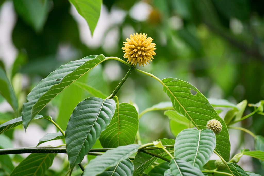 Best Kratom Strains