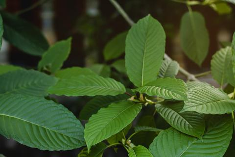 What is a Gold Kratom