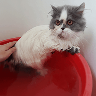 How to shower your cat