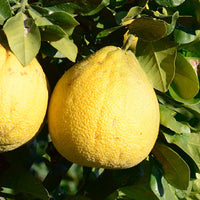 Corsican_pomelo Featured Ingredient - L'Occitane