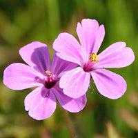 Geranium Featured Ingredient - L'Occitane