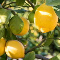 Lemon Featured Ingredient - L'Occitane